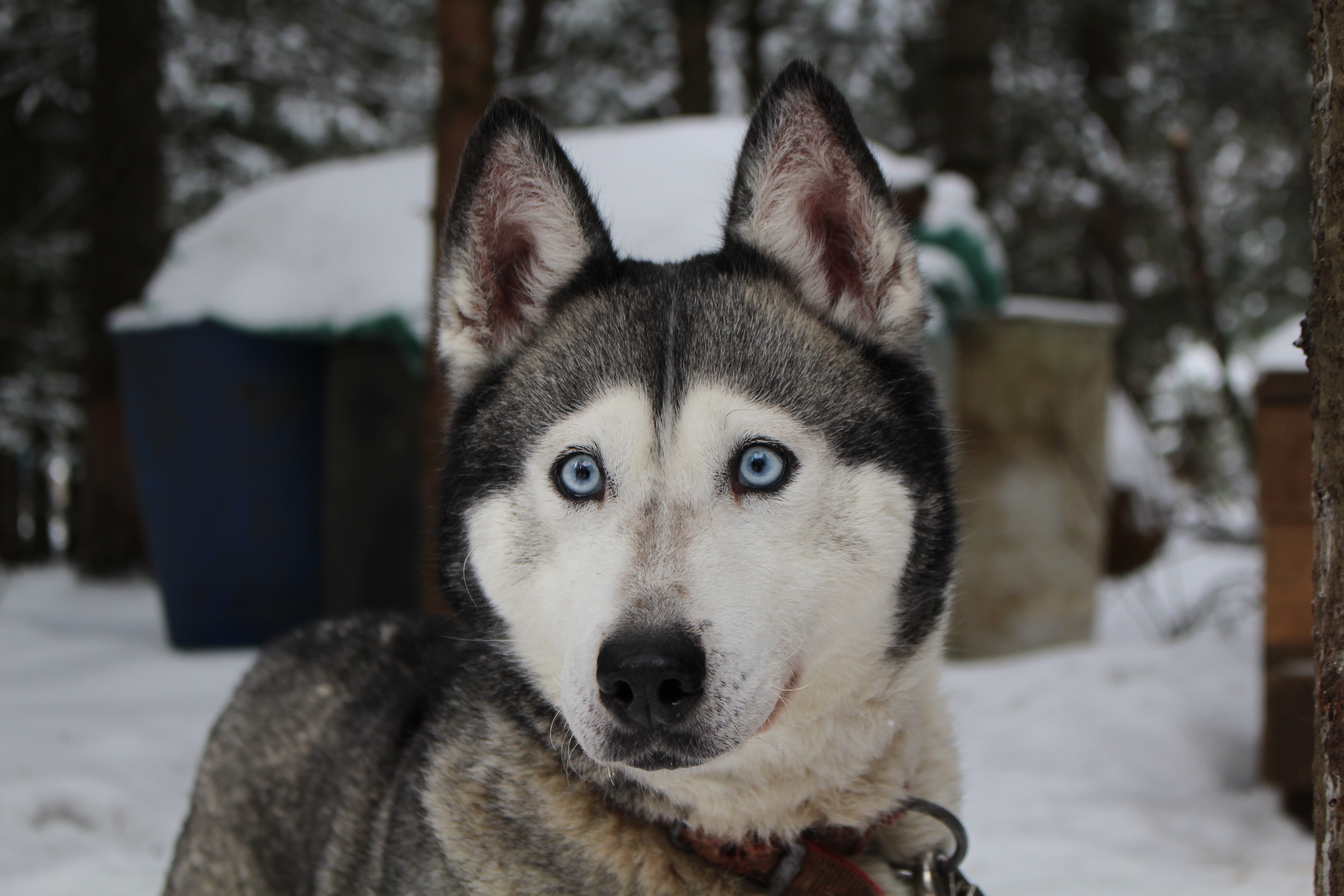 Husky-grands-yeux